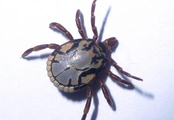 South African Bont tick