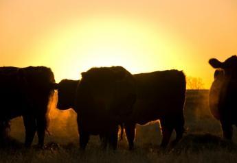 Cattle preparing to graze at sunrise.