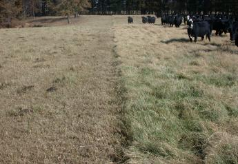 Stockpiling forages and feeding small grains crops year-round can help cattle producers offset the higher costs of hay.