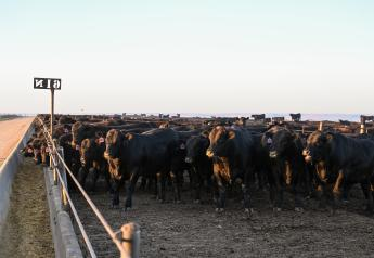 Cash cattle prices traded higher