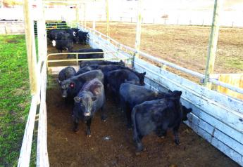 These cattle are being stored in segments of the alleyway waiting their turn to go up to the processing area for pregnacy testing. Note the generous space they are given to help keep them relaxed and in a normal frame of mind. In this regard, wider alleyways are better (i.e., 14'-16') instead of 12' pictured here.