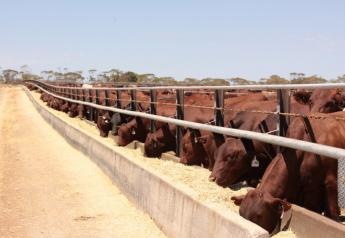 Santa Gertrudis cattle eat at the Tungali feedlot in South Australia.