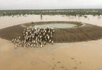 Cattle seeking refuge from rising floodwaters on a pond embankment in Queensland, Australia.