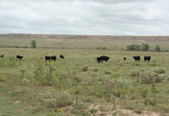 During drought conditions, cattle often graze sparse forage plants closer to the ground, increasing the likelihood they'll consume soil containing the B. anthracis spores.
