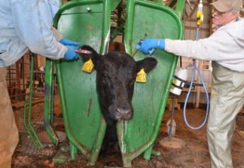 BT Rotator Vaccination Cattle