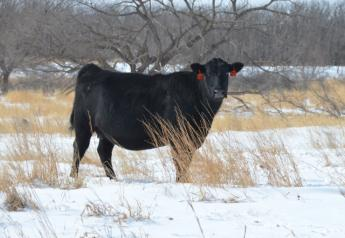 BT_Angus_Cow_Snow_Winter