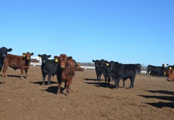 Backgrounding Sowder Calves