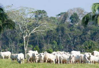 BT_Brazil_Amazon_Cattle