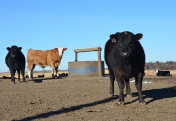 BT_Cattle_Feedlot