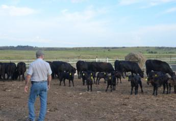 BT_Cows_Calves_Pen