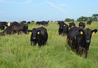 BT_Cows_Grazing_Brome