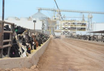 BT_Dairy_Feeder_Steers