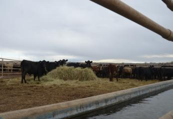 BT_Feedlot_Backgrounding_Cattle