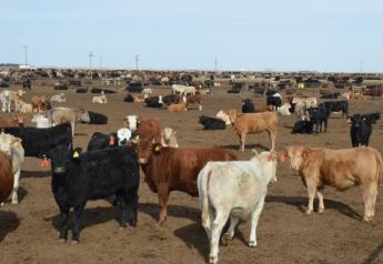 BT_Feedlot_Cattle