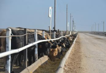 BT_Feedlot_Cattle_Kansas