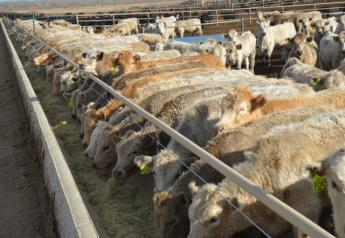 BT_Feedlot_Cattle_Preconditioning