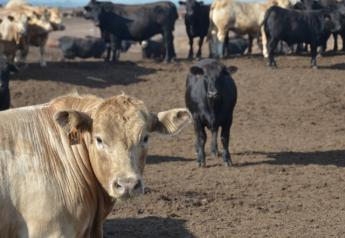 BT_Feedlot_Cattle_Summer_Nebraska