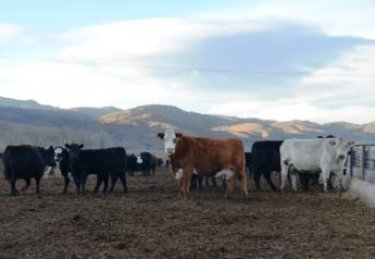 BT_Feedlot_Cows_Calves