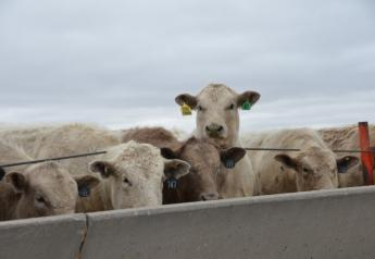 BT_Feedlot_Steers