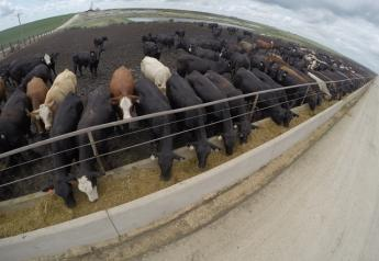 GoPro Feedlot Cattle
