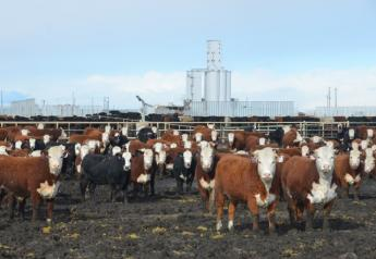 Last fall these JBS Five Rivers' steers at the Kuner Feedlot would have entered the traditional JBS packing plant system. With the Fed Cattle Exchange there is a chance for some JBS Five Rivers cattle to be purchased by competing packers, aiding in price discovery for the beef industry.