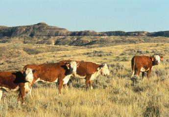 BT_Hereford_Cattle_Miles_City_Montana_USDA