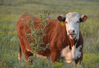 BT_Hereford_Heifer_Musk_Thistle