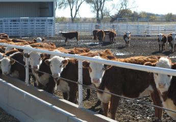 BT_Hereford_Replacement_Heifers