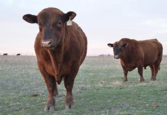 BT_Red_Angus_Bulls