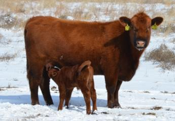 BT_Red_Angus_Cow_Calf_Winter_Snow