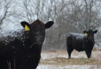 BT_Winter_Snow_Calves