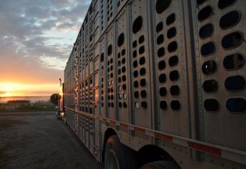 Heavier-finished cattle fatigue easily