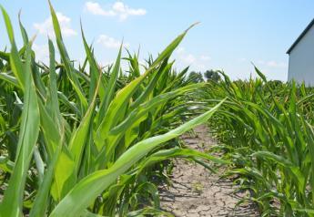 Corn_heat_stress1