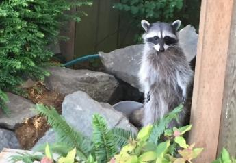 Over the past 30 years, rabies management has grown in complexity in the United States, as wild animals, including raccoons, skunks, foxes, coyotes and bats, have replaced the domestic dog as the primary reservoir for the disease.