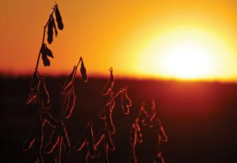 Soybeans in sunset
