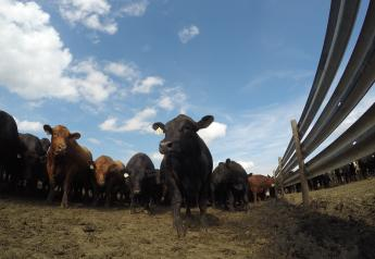 Feedyard margins retreated $100