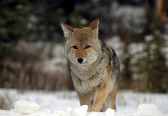 A proposal in Oregon seeks a ban on coyote-hunting contests, but the language runs afoul of the state's constitution which also permits strip clubs as free speech.