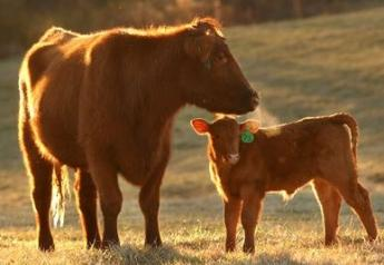 Losses to the cow-calf sector are estimated at $3.7 billion due to the coronavirus