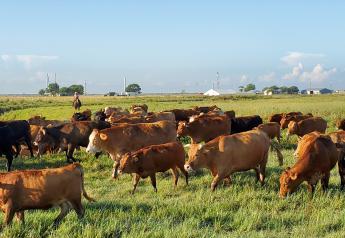 Part of Herff Cornelius' Akaushi herd.
