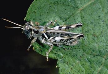 Melanoplus devastator grasshopper.
