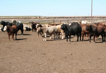 Mexican imported cattle