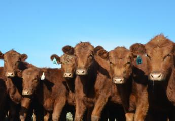 BT Red Angus Replacement Heifers