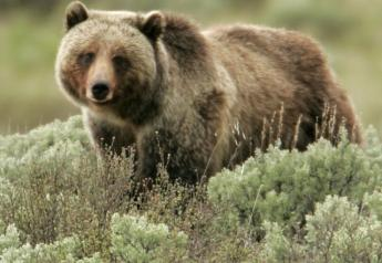 Wildlife officials have confirmed that a grizzly bear is responsible for killing a calf in central Montana.