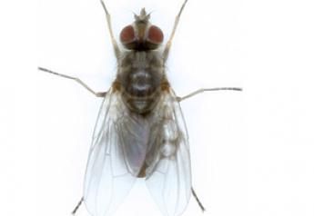 ClariFly Horn Fly