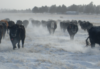 South_Dakota_Snow_Cattle