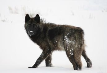 Yellowstone_Wolf_Winter