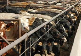 cattle feedyard 2