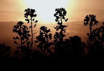 canola-sunset-canada