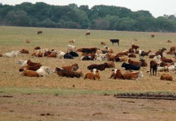 cattle drought 3