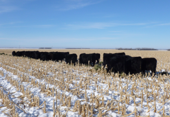 cattle_on_cornstalks